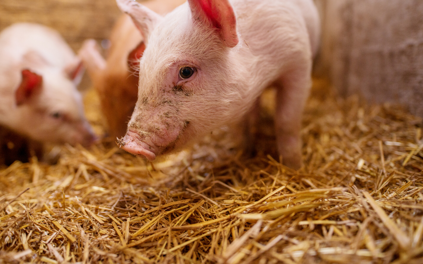 Do soy isoflavones help fight against PRRSV infection in weaning pigs & does soy source matter?