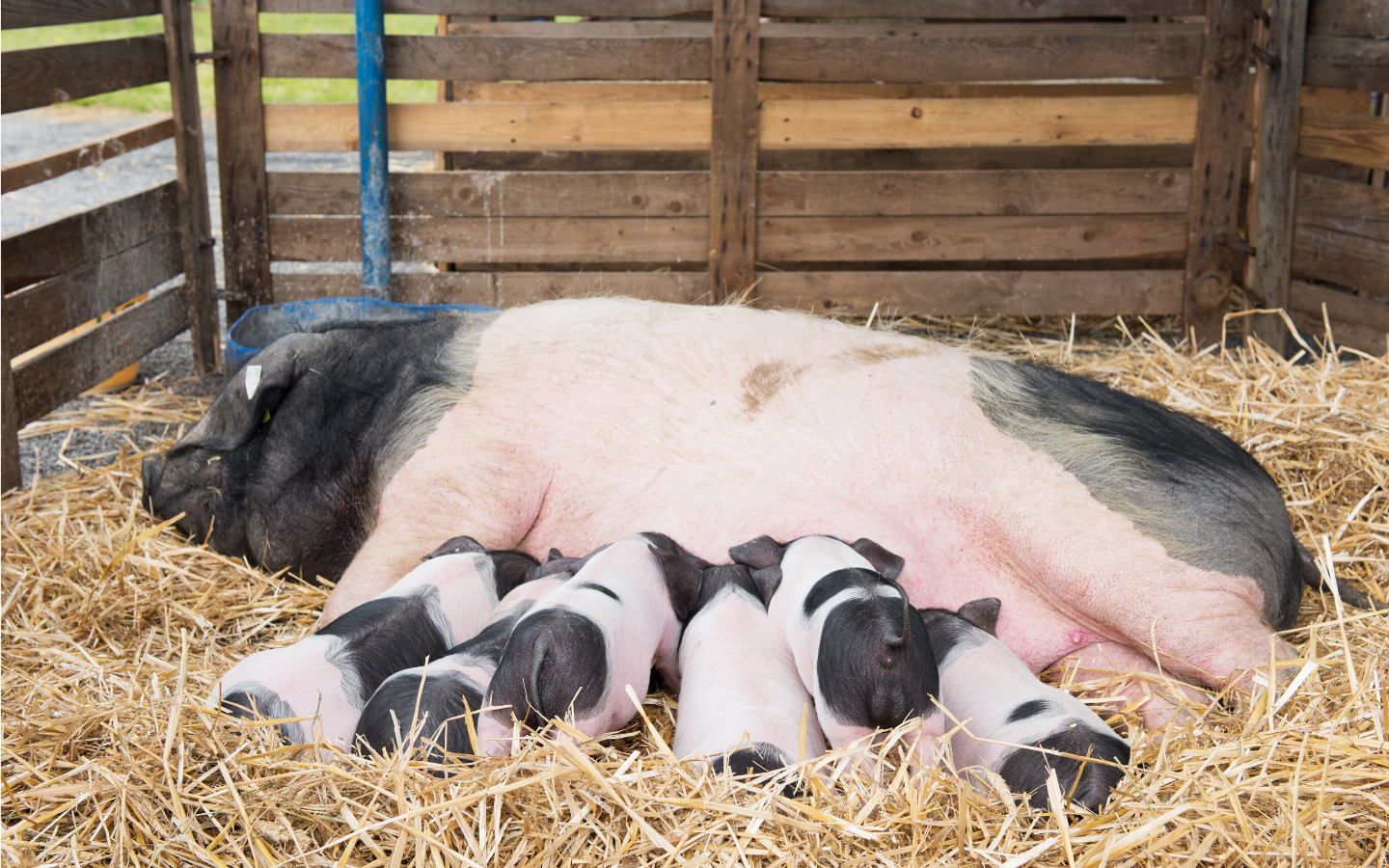 Short-chain vs. Medium-chain vs. Long-chain Fatty Acids...A comparison study in sows
