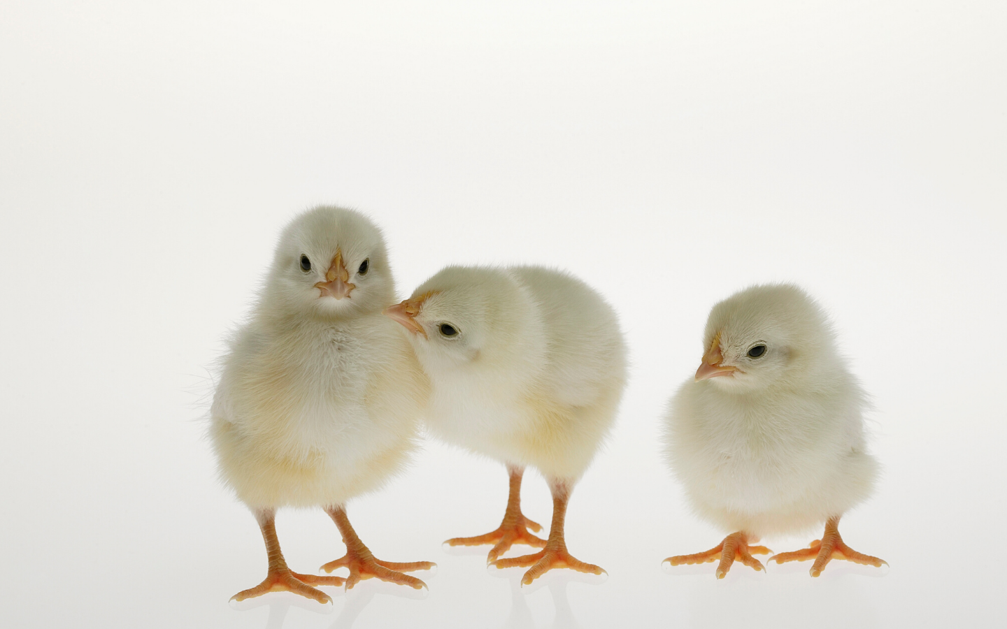 Low Protein Diet in broilers --- How low can we go?