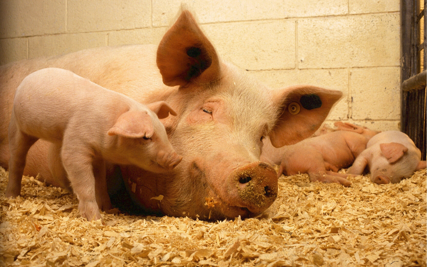 How does live yeast supplementation in sow & piglet diets affect post-weaning performance?