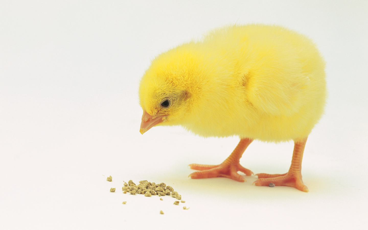 How do Age & Feeding Duration Affect Phytase Efficacy in Broilers?