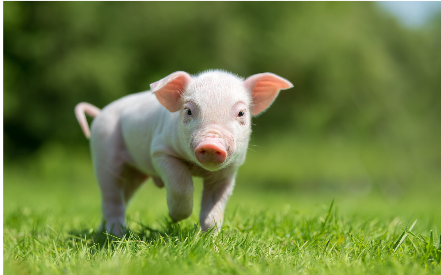 38 Studies in 38 Sentences | Take Home Messages from the 2019 Kansas Swine Day